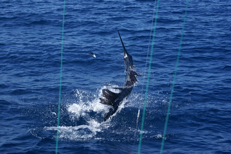 Sailfish-catching-and-release-fishing-charters-tours-costa-rica-pacific-coast.jpg - big