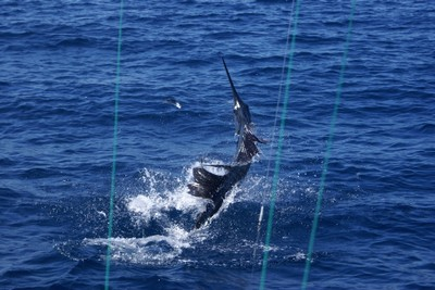 Sailfish-catching-and-release-fishing-charters-tours-costa-rica-pacific-coast.jpg - small