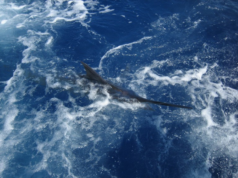 marlin-catch-three-fishing-charters-tours-costa-rica-pacific-coast - big