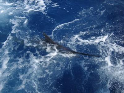 marlin-catch-three-fishing-charters-tours-costa-rica-pacific-coast - small