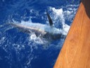 marlin-catch-two-fishing-charters-tours-costa-rica-pacific-coast.jpg - thumbnail