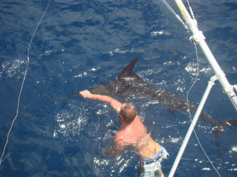 fishing charters tours costa rica pacific coast marlin swimming - big