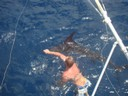 fishing charters tours costa rica pacific coast marlin swimming - thumbnail